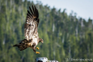 A juvenile Bald eagle coming in to land