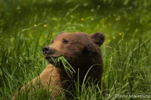 Very cute & very dangerous. A Brown bear eating sedge grass, their mail diet before the salmon come in from the ocean to spawn