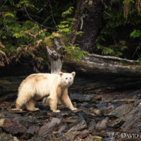 In Search of the Spirit Bear
